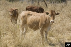 Scientists at the International Livestock Research Institute in Nairobi, Kenya have been working on the cattle equivalent of the disease trypanosomiasis