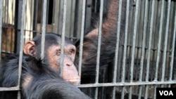 A chimp reaches for food at Ngamba Island Chimpanzee Sanctuary, Uganda. (H. Heuler/VOA)