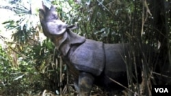 Badak Jawa Kini hanya bisa ditemukan di Taman Nasional Ujung Kulon, Indonesia. Badak Jawa di Taman Nasional Vietnam punah setelah badak terakhir didapati mati dengan cula terpotong (foto:dok).