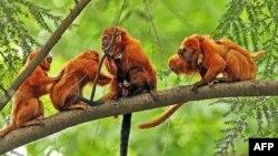 Khỉ Tamarin sư tử vàng vẫn đối mặt với nguy cơ bị tuyệt chủng