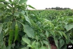 گیاه فلفل تند، نیومکزیکو - فلفل یکی از محصولات عمده قاره آمریکا است.