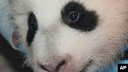 """华盛顿国家动物园今年8月降生的雌性熊猫幼仔名字为""""宝宝"""""""
