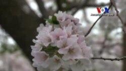 Washington'da Japon Kirazı Ağaçları