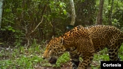 Proteger a los jaguares en bosque más extenso de Mesoamérica es una de las tareas del Servicio de Pesca y Vida Silvestre de Estados Unidos.
