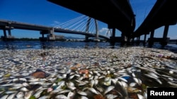 FILE - Dead fish are pictured on the banks of Guanabara Bay in Rio de Janeiro, Feb. 24, 2015.