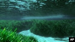 Meadows of Posidonia oceanica.