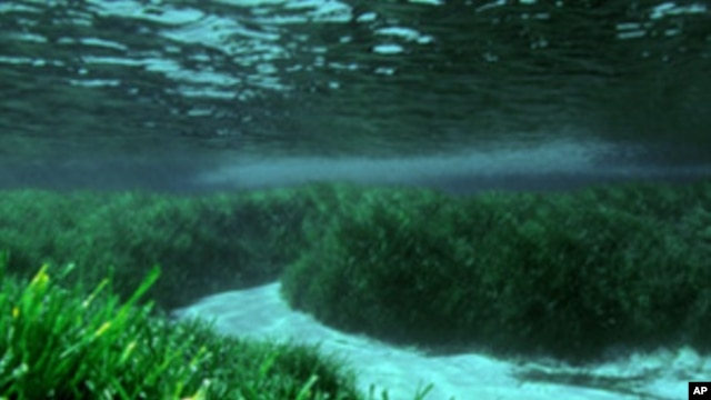 Meadows of Posidonia oceanica.