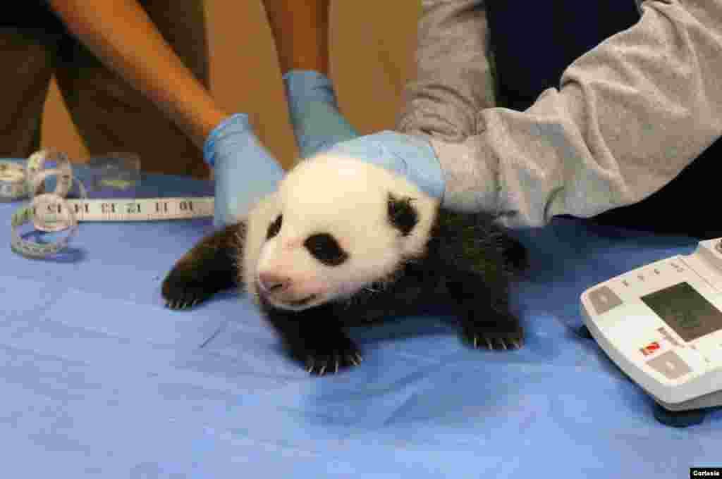 Bebé panda tuvo su primer chequeo veterinario casi al mes de nacido.