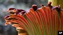 Titan arum yang juga dikenal sebagai 'bunga bangkai' (foto: dok).