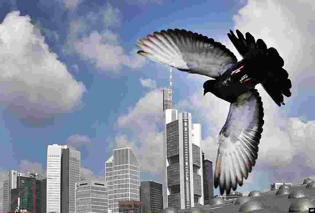 Seekor burung merpati terbang di atas gedung-gedung di kota Frankfurt, Jerman.