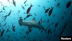 Un tiburón martillo en las aguas de las Galápagos. Los océanos están amenazados por un trío letal de calentamiento global, disminución del óxigeno y la acidificación de las aguas.