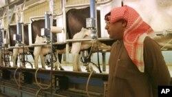 Alimentar el ganado en Arabia Saudita es un problema si no se tiene suficiente agua. La solución: comprar tierra en el extranjero.