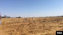 As hunger bites in Zimbabwe, children scrounge for maize grain that might have slipped off a harvester at a seed research farm in Mount Hampden, about 40 km west of Harare, in August 2016. (S. Mhofu/VOA)