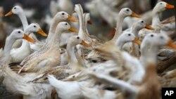 베트남 하남주 킴방의 오리 농장. 베트남에서는 9개월만에 처음으로 조류독감 사망자가 발생했다. 사망한 50대 남성은 시장에서 오리와 접촉한 것으로 알려졌다.