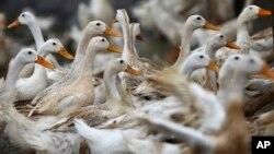 越南河南省一处养鸭场,当地2012年2月曾爆发禽流感。(资料照)