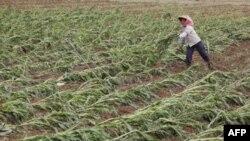 Изменение мирового климата привело к снижению урожайности