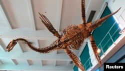 """FILE - A replica of the Plesiosaur """"Tuarangisaurus Cabazai"""" made from polyurethane foam is pictured on display at the Argentine Natural Sciences Museum in Buenos Aires in July 2013."""