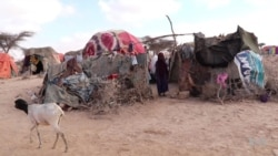 Pastoralists in Somalia's Drought-stricken Puntland Fight for Survival