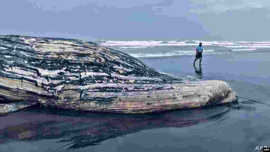 과테말라 엘 툴레이트 해변에 파도에 떠밀려 온 혹등고래 사체가 놓여 있다.