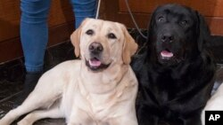 Labrador retrievers Soave, 2, left, and Hola, 10-month, pose for photographs as Harbor, 8-weeks, takes a nap during a news conference at the American Kennel Club headquarter, Wednesday, March 28, 2018, in New York. American Kennel Club rankings released i