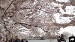 潮汐湖畔樱花锦簇,游客如织,白色建筑为杰斐逊纪念堂