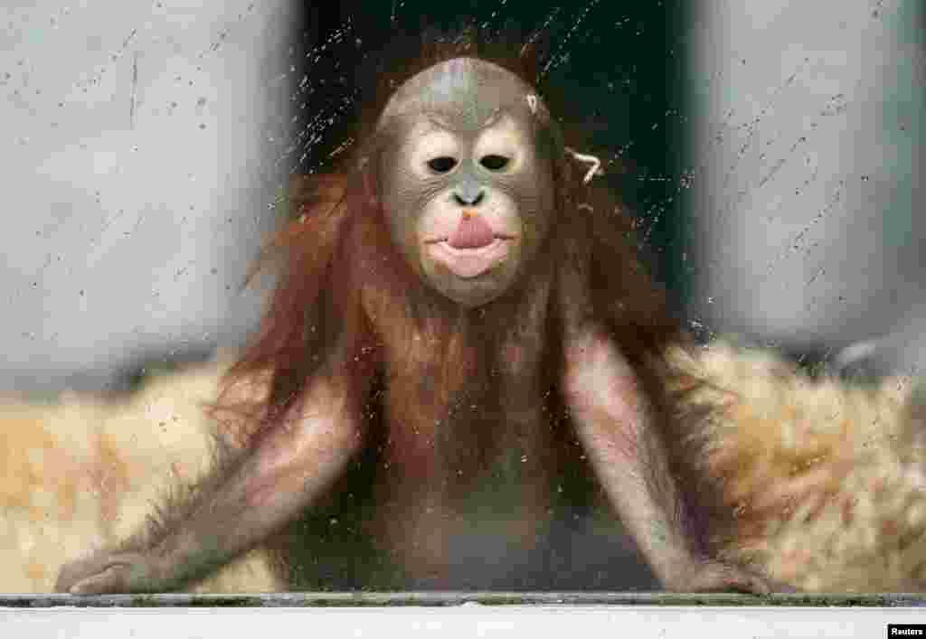 កូនសត្វស្វាប្រភេទ Orangutan ដែលគេដាក់ឈ្មោះថាOle កំពុងលេងនៅក្នុងសួនសត្វមួយ នៅក្នុងថ្ងៃដែលមានភ្លៀងធ្លាក់ នៅទីក្រុងKaliningrad ប្រទេសរុស្ស៊ី។