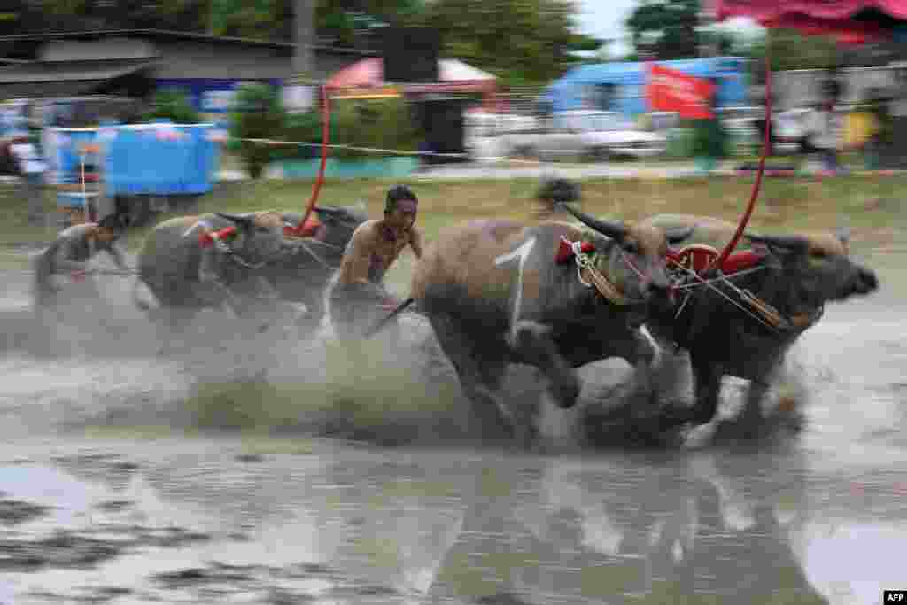 Water buffaloes participate in a race in Chonburi. Sloshing across a muddy field with men sprinting behind them, prized water buffaloes blow past cheering spectators in eastern Thailand on July 21 in a rare display of bovine speed.