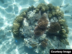 In this coral transplant site in America Samoa, the pink branching corals have been transplanted onto a bigger boulder-shaped coral. (Credit: Stephen Palumbi)