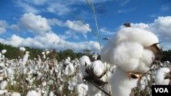 美国的棉田(资料照)