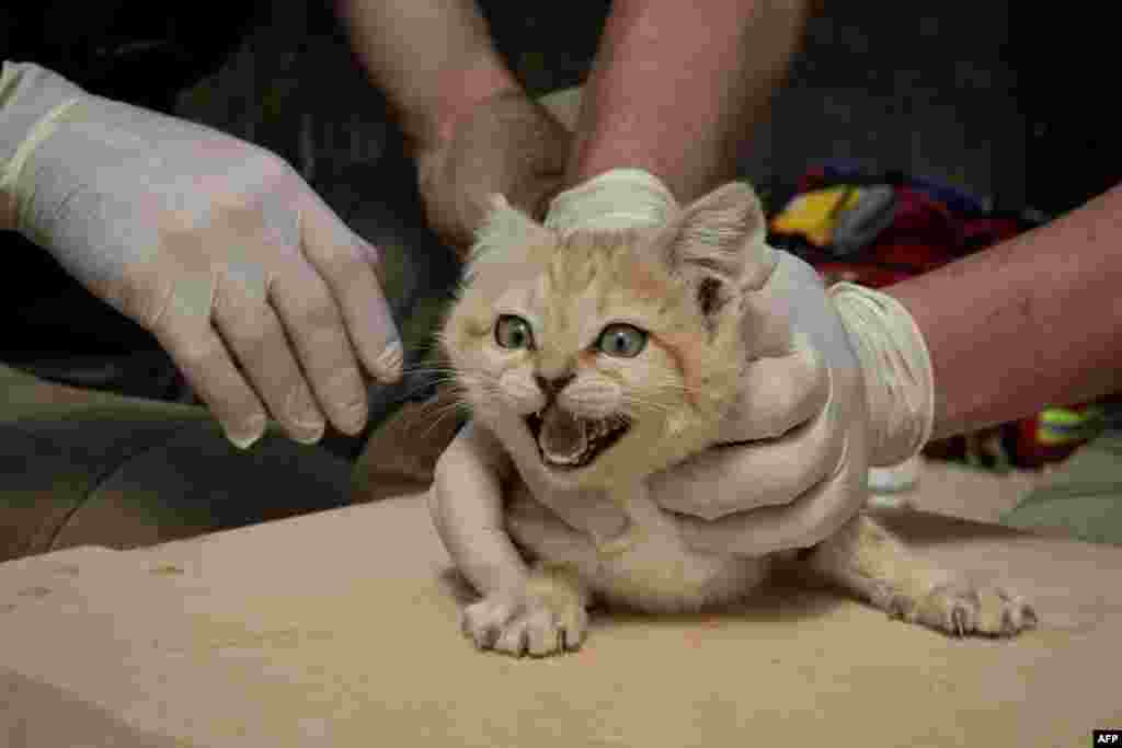"A veterinarian and a healer hold down a Sand Cat cub in the ""Parc des Felins"" zoological park, in Lumigny-Nesle-Ormeaux, east of Paris, for a general health check and the implant of a microchip."