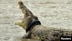 Crocodilo tinha cinco metros de comprimento