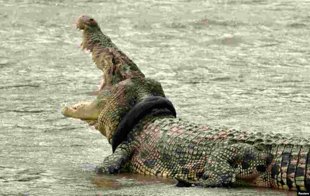 A crocodile with a used motorcycle tire around its neck is seen in a river in Palu, Central Sulawesi province, Indonesia, Nov. 2, 2016. The crocodile has had the refuse around its neck since Sept., but rescue efforts have not been due to a lack of proper equipment and experts. (Photo provided by Antara Foto)