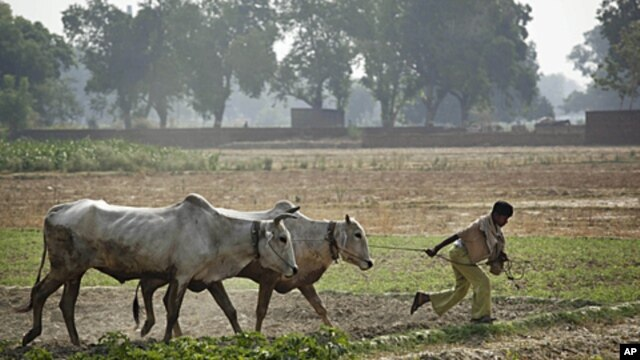 An Indian farmer pulls his oxen after plowing a rice paddy in Allahabad, India, June 17, 2010 file photo.