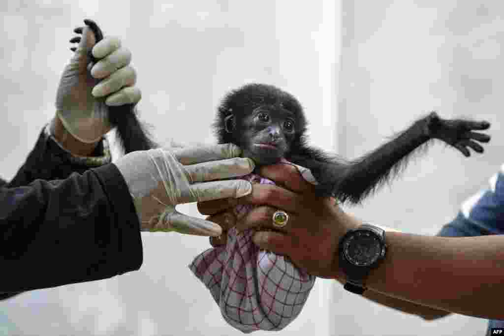 Vets check a baby siamang, or black-furred gibbon, rescued from a villager, at the local nature conservation agency's office in Banda Aceh, Aceh province, Indonesia.