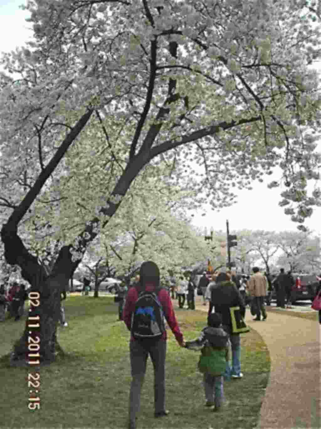 فستیوال شکوفه های گیلاس در واشنگتن ۲۰۱۱