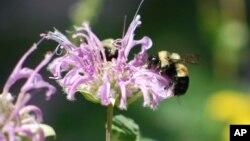 Divlje pčele