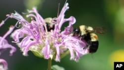 Abejas en Peoria, Illinois: Su salvación podria estar en la diversificación de la flora.