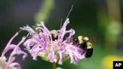 Une abeille sauvage (AP)