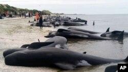 Voluntarios en Nueva Zelanda tratan de salvar a ballenas varadas el 10 de febrero, de 2017.