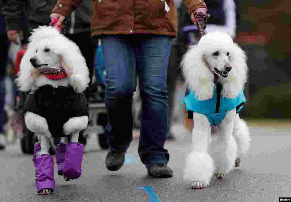 شرکت سگهای نژاد پودل در سومین روز از شو سگ ها در بریتانیا