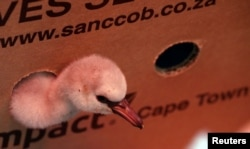 Rescued small flamingos from the box after they were taken from a dam in North Cape Province to SANCCOB rehabilitation center in Cape Town, South Africa, on January 30, 2019.