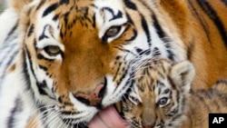 Među ugroženim vrstama je i amurski tigar