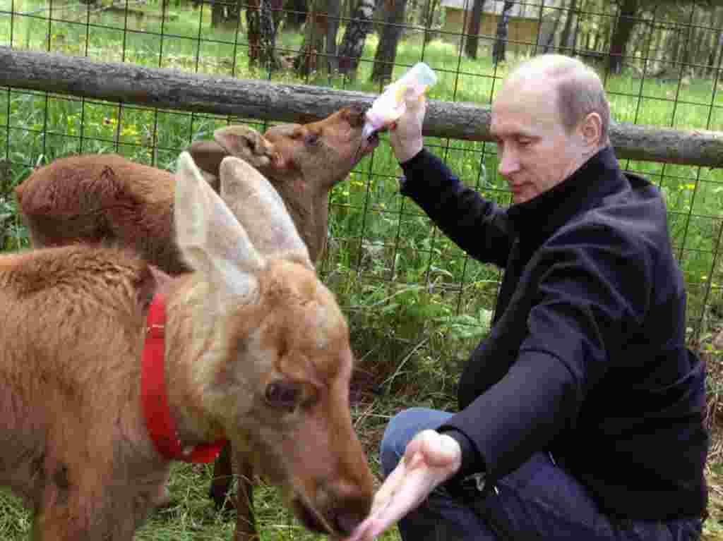 """El primer ministro alimenta un alce en el parque nacional de """"Losiny Ostrov""""."""