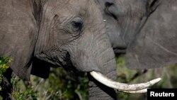 偷猎者猎杀非洲大象获取象牙
