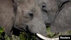 中國對象牙的需求使坦桑尼亞大象數量急劇減少(資料圖片)