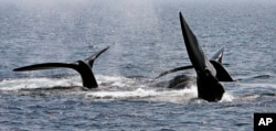 FILE - A ballet of three North Atlantic right whale tails break the surface off Provincetown, Mass., in Cape Cod Bay, April 10, 2008. Marine conservation groups say the endangered North Atlantic right whale is having such a bad year for accidental deaths in 2017 that it could challenge the species' ability to recover in the future.