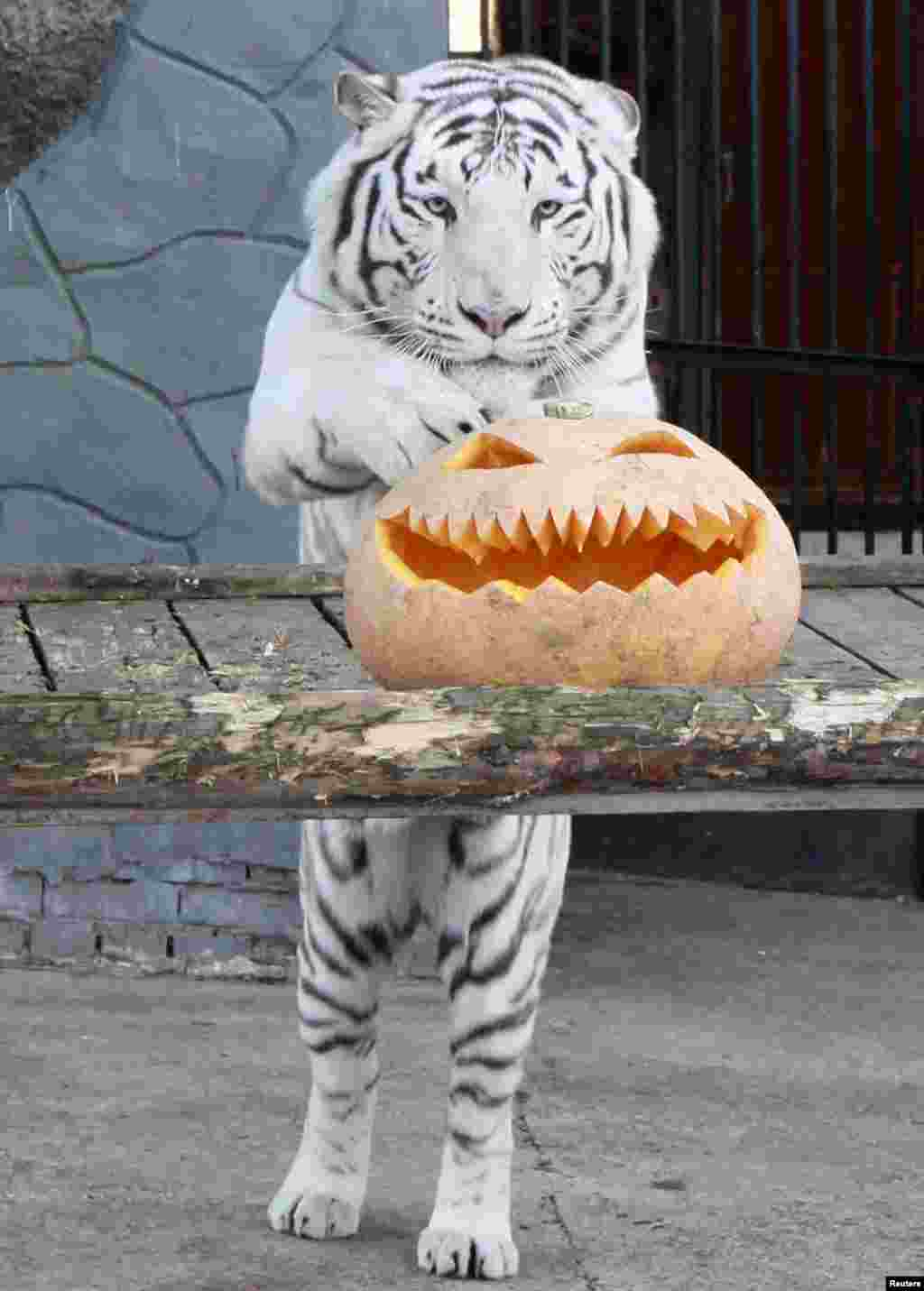 Khan, a three-year-old male Bengali white tiger, stands near a pumpkin during Halloween celebrations at the Royev Ruchey Zoo, on the suburbs of Russia's Siberian city of Krasnoyarsk, Oct. 31, 2013.