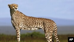 A cheetah stands on the plains of Masai Mara game reserve in Kenya, April 2, 2008.
