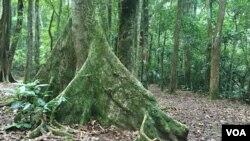 بخشی از جنگل بارانی تیجوکا
