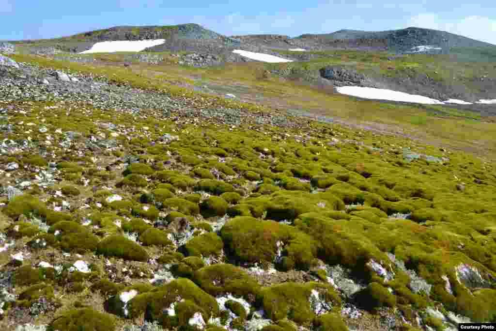 Crecimiento de musgo en la isla Ardley en las islas Shetland del Sur. (Dan Charman/Matt Amesbury)